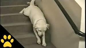 cães com dificuldade de locomoção