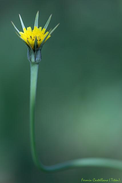Flor a marilla