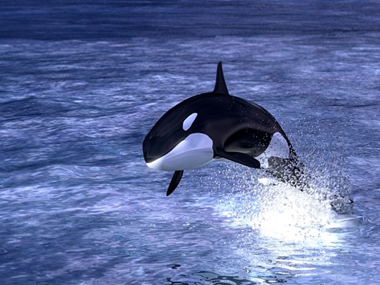 Hd Orca Wallpaper All Photos Gallery Orca Jumping Orca Jumping Out Of