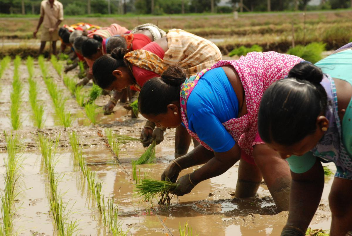 thesis on weed management in transplanted rice Journal of crop and weed 6(2)67-71: (2010) efficacy of oxyfluorfen for weed control in transplanted rice ct abraham, pprameela and m priya lakshmi.