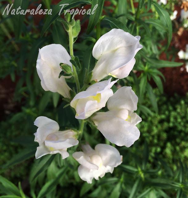 Variedad blanca de las flores de la planta Boca de Dragón, Antirrhinum majus