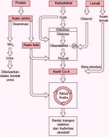 Keterkaitan Metabolisme Karbohidrat, Lemak dan Protein