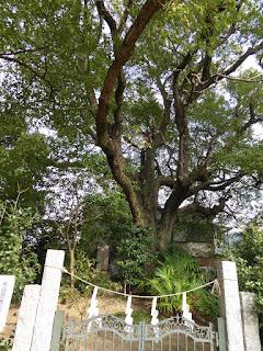和田賢秀公墓 楠(クスノキ)