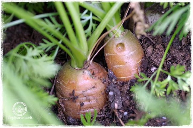angefressene Möhren Löcher in Möhren Ursache Schnecken - Gartenblog Topfgartenwelt