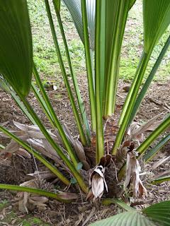 Johannesteijsmannia altifrons - Palmier fougère - Palmier Joe