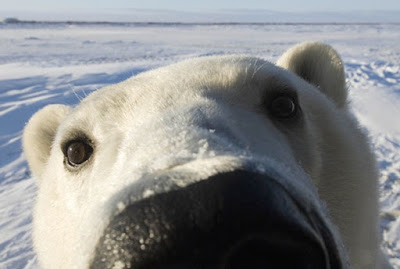 Polar bear's nose picture