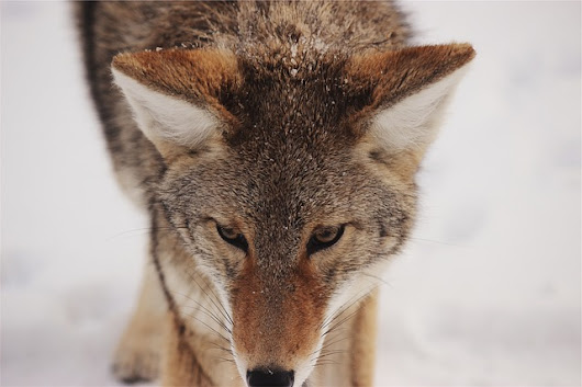 New Mexico State Land Appalling Coyote-Killing Contests ...