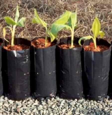 Como plantar noni: O solo