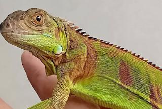 iguana red mix
