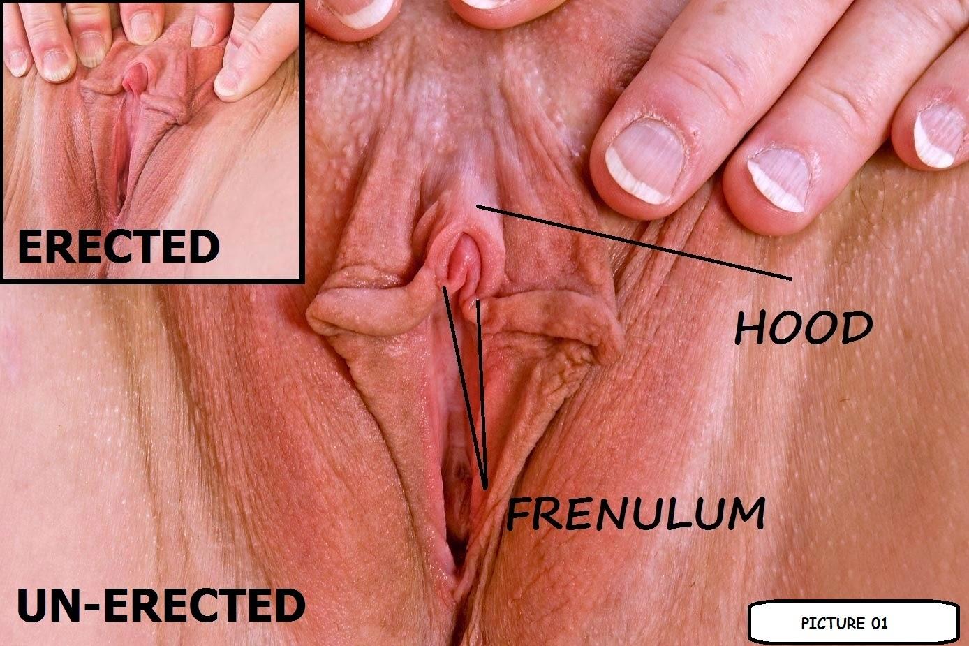 Erect Clitoris