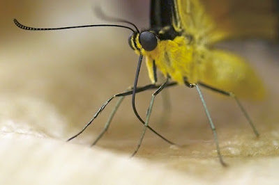 Butterfly proboscis studied biomimetics