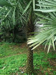 Harga jual pohon palm kopernis alba | tukang Taman murah