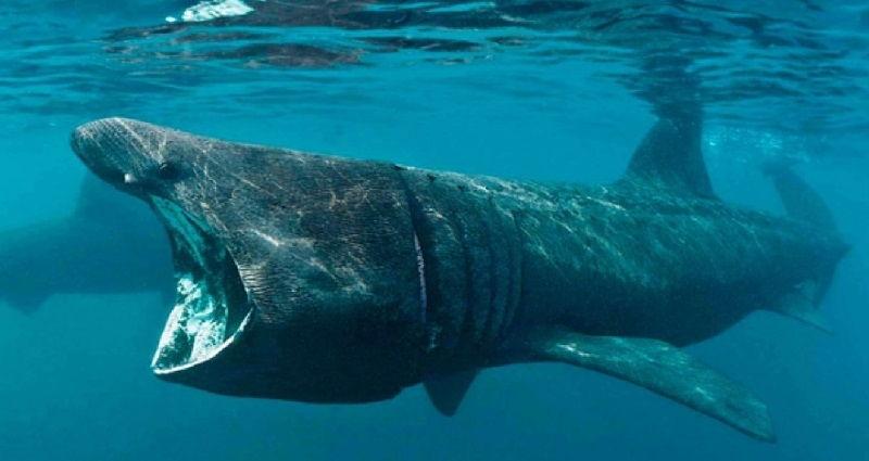 Gambar Ikan Hiu bernafas dengan insang dan termasuk jenis ikan bertulang rawan