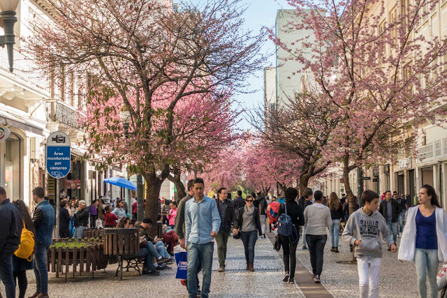 A florada das cerejeiras