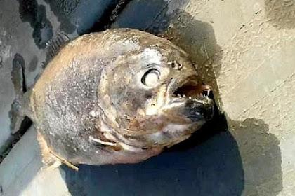 Gara-gara Ada Piranha, Ikan dan Bebek Menghilang di Danau