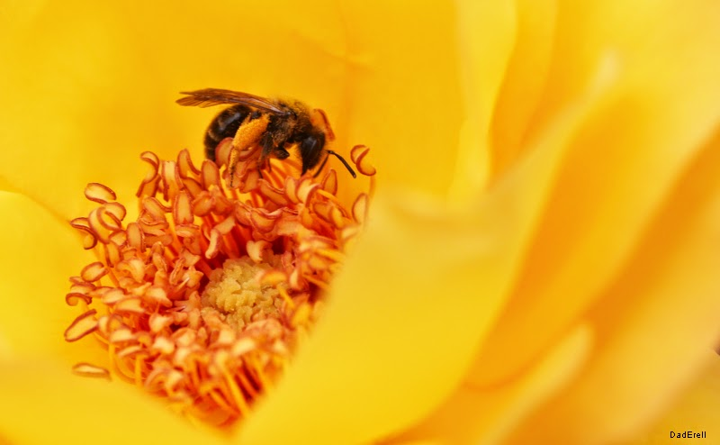 Abeille butinant dans une rose jaune