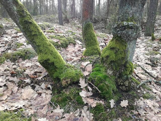 mech na drzewach
