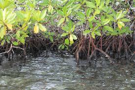 Pengertian Mangrove Menurut Para Ahli