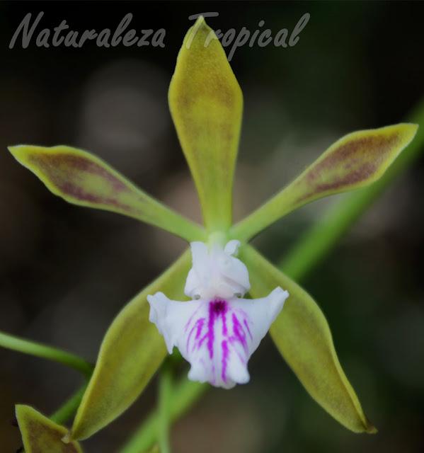 Detalles de la flor de la orquídea cubana Encyclia sabanensis