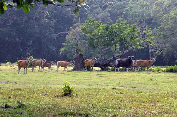 Padang Rumput Cidaon Ujung Kulon