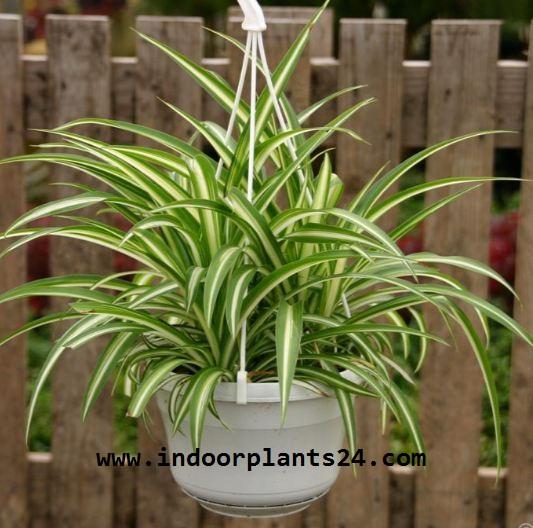 Chlorophytum Comosum indoor plant