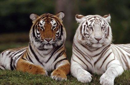 Tiger | A-Z List of 125 Rare Albino Animals [Pics]