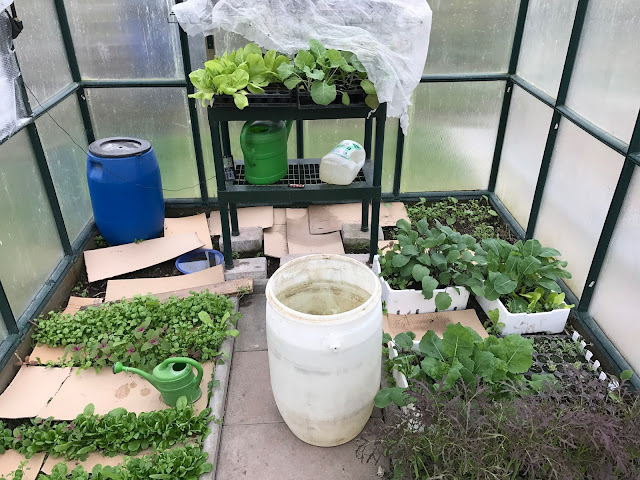 Gewächshaus mit Gemüsejungpflanzen und verschiedenen Salaten  (c) by Joachim Wenk