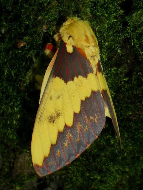 Citheronia laocoon male