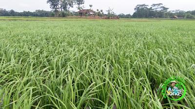 Tanaman padi Nazwa saya tanpa legowo