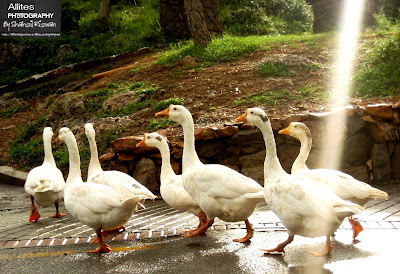 Adorable Ducks an often sight at Daman-e-Koh, Daman-e-Koh, Islamabad (Hill Resort), Photography by Shahzil Rizwan