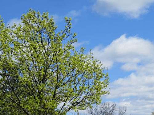tree with new leaves against a blue sky