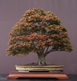Bonsai in autumn