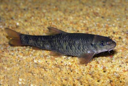 Ikan Garra Rufa
