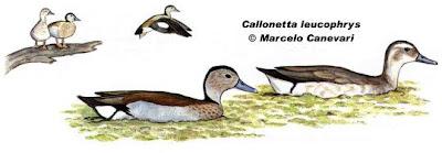 Pato de collar Callonetta leucophrys