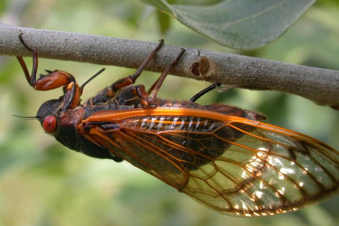 cicada eggs - photo #30
