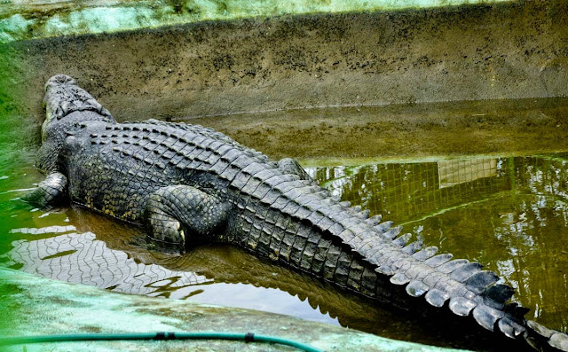 largest crocodile in captivity lolong