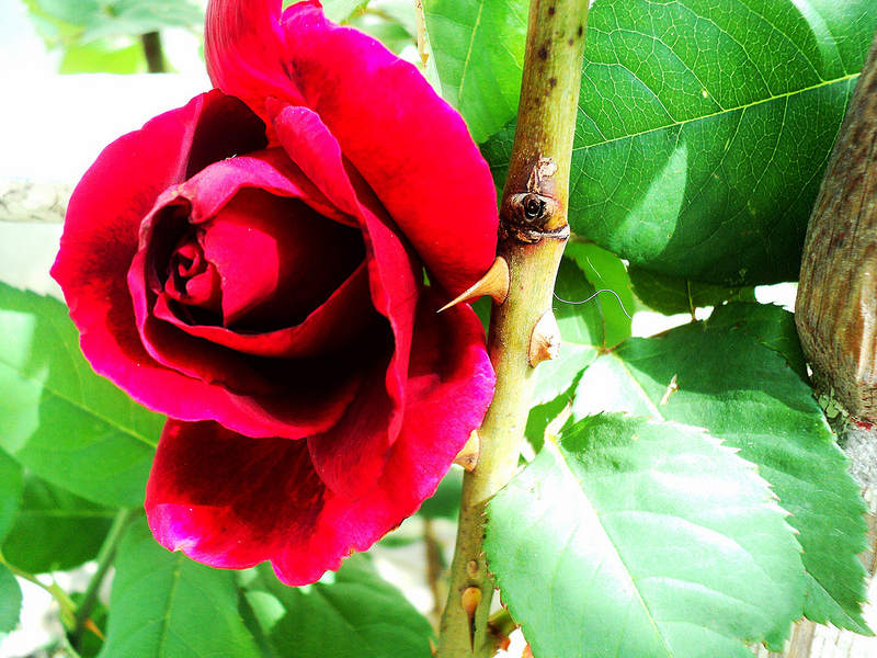 THORN IN MY ROSE BUSH
