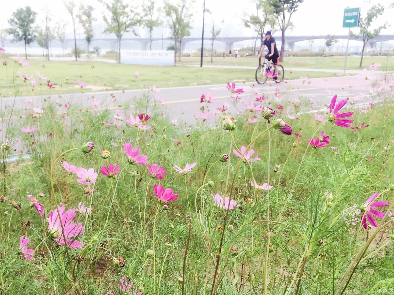 Seoul, Korea - Summer Study Abroad 2014 - Yeouido Park - Han River - guy biking cosmos flowers