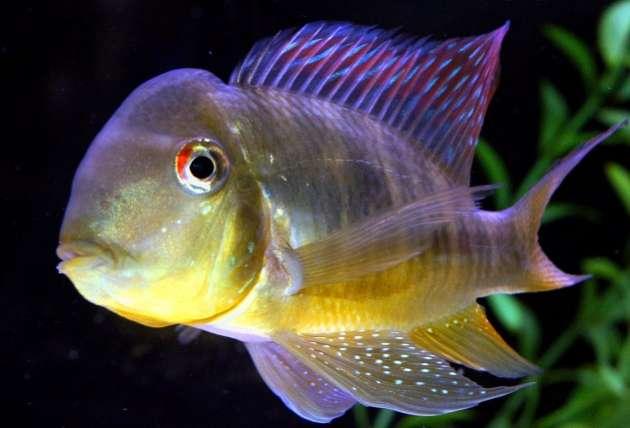 Balzani ikan hias air tawar
