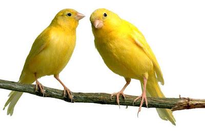 kenari www.burung45.blogspot.com