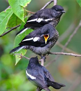 Burung Kacer - Penangkaran Burung Kacer Agar Mendapatkan Anakan yang Berkualitas Ditinjau dari (Empat Ilustrasi)