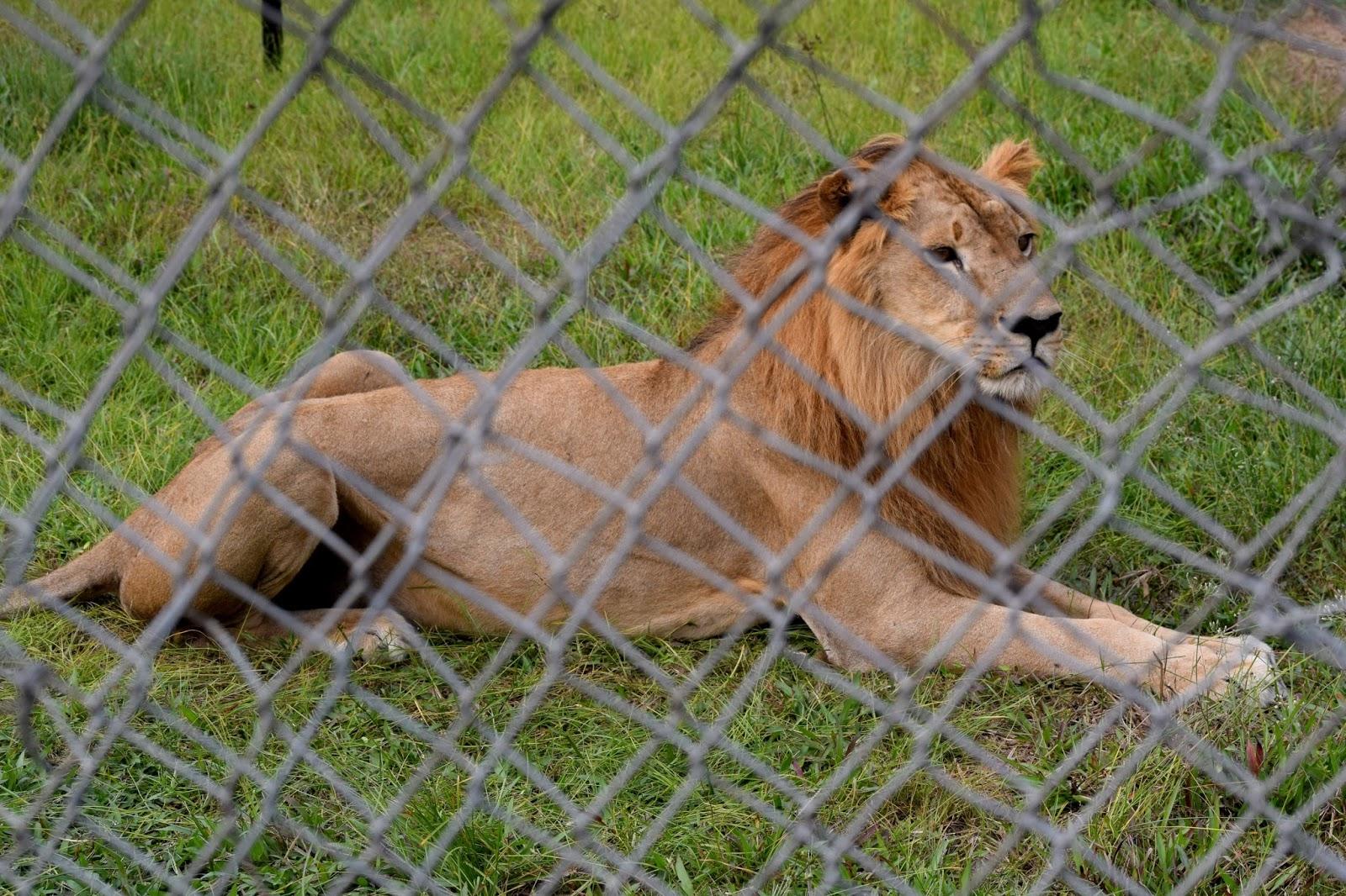 Omu Resort Lion