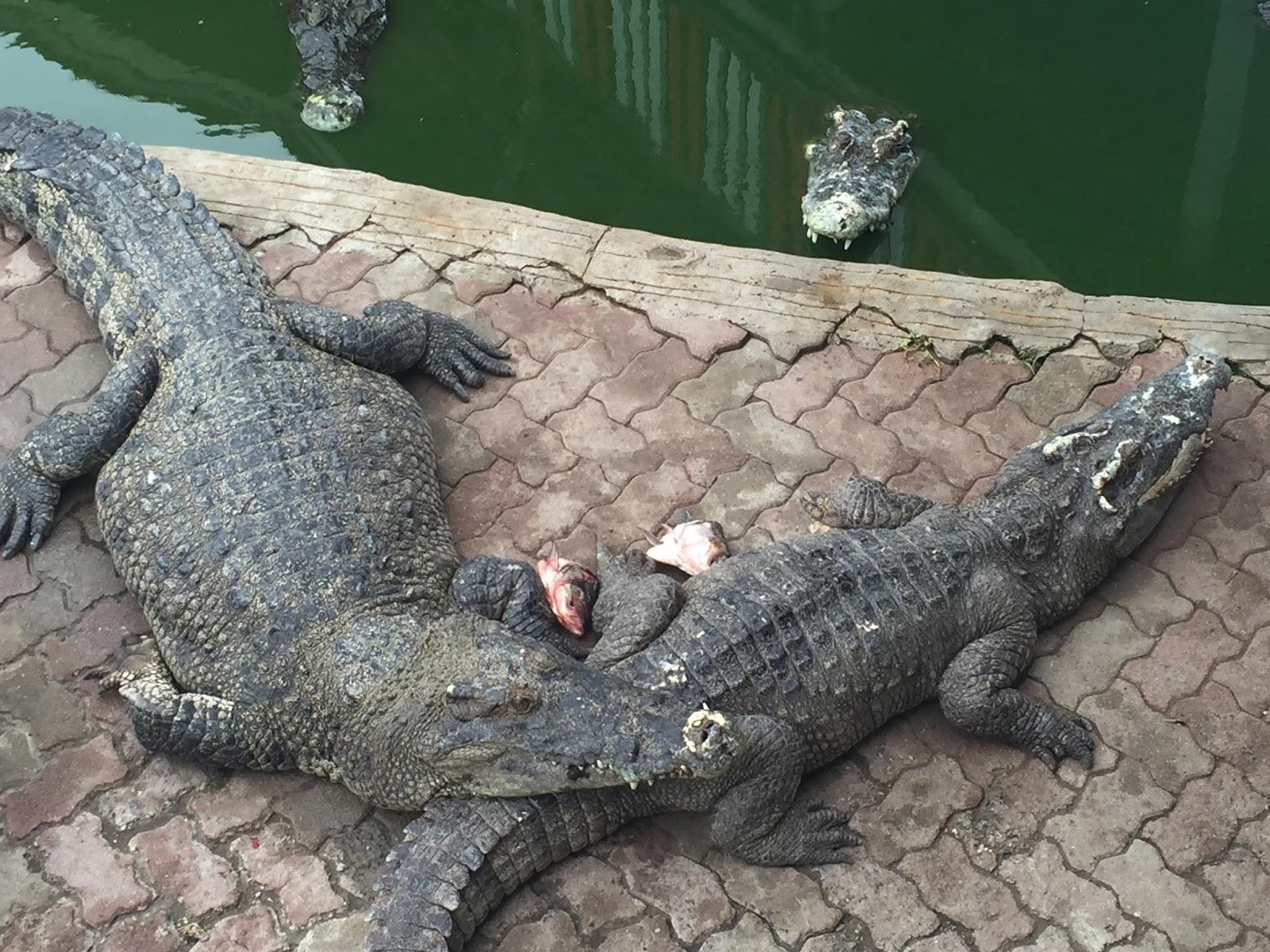 Image result for crocodile farm samut prakan