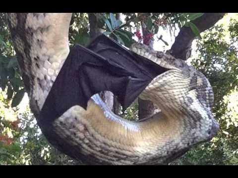 E, diferentemente do que ocorre com outras espécies, esse grande morcego não se utiliza do sentido de ecolocalização e guia-se unicamente visão bem desenvolvida. Para conseguir comida podem voar até 50km em uma só noite.   Vive em bandos que podem chegar a ter milhares de indivíduos.