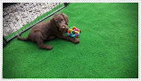 Video Labradoodle F1 Standard