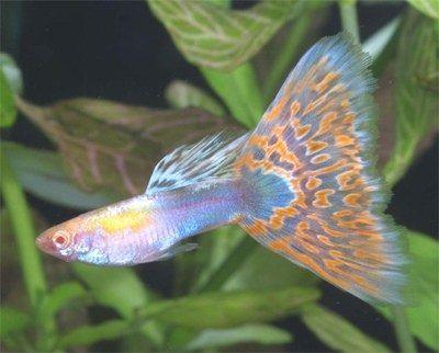 Gambar Ikan Guppy Mosaic Jantan