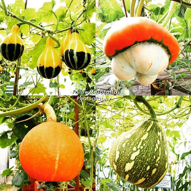 Amazing Display Of Ornamental Pumpkin Such As UFO V76, Orangeman 563, Lucky Star 722 & Upin Ipin V74.
