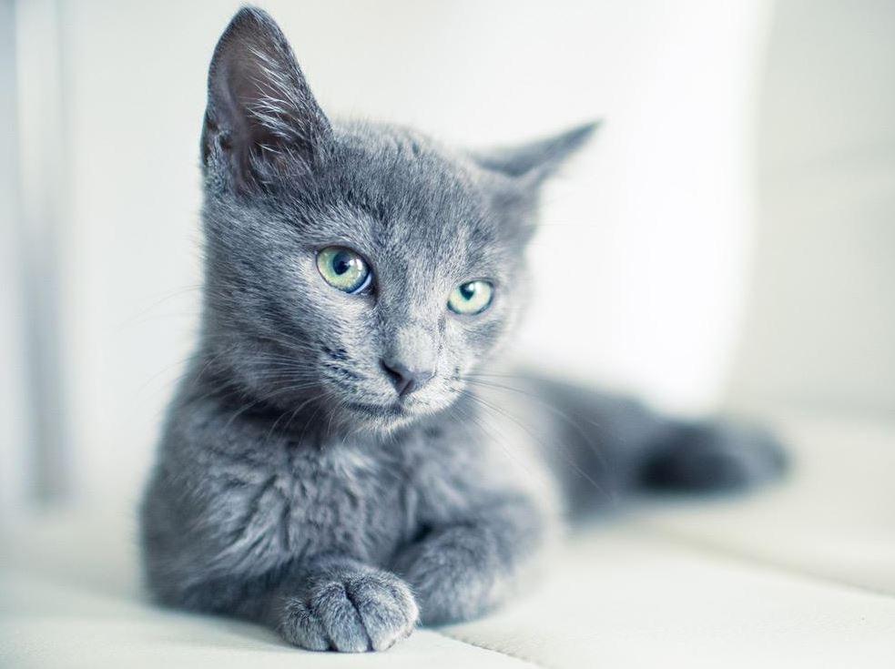Origin of Russian Blue Cat