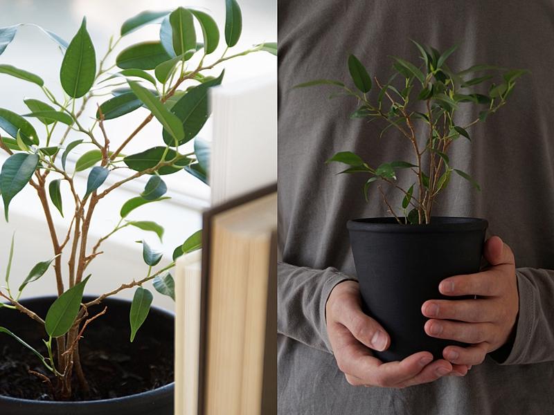 DIY: Birkenfeige/ Ficus Natasja aus Zweig ziehen - Pflegeleichte, dekorative Zimmerpflanze für Leute ohne grünen Daumen selberziehen
