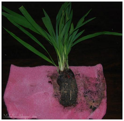 Bawang Dayak  Eleutherine palmifolia L. Merr